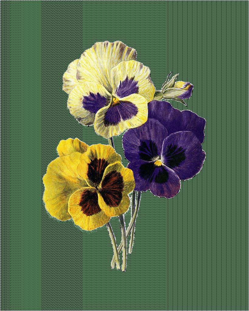 drie viooltjes tekening