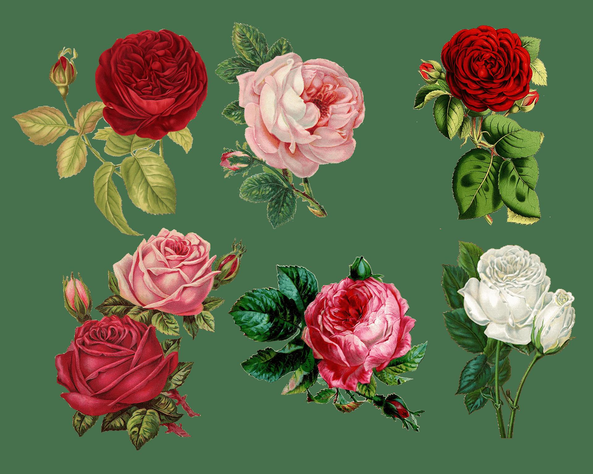 florida water rozen tekening