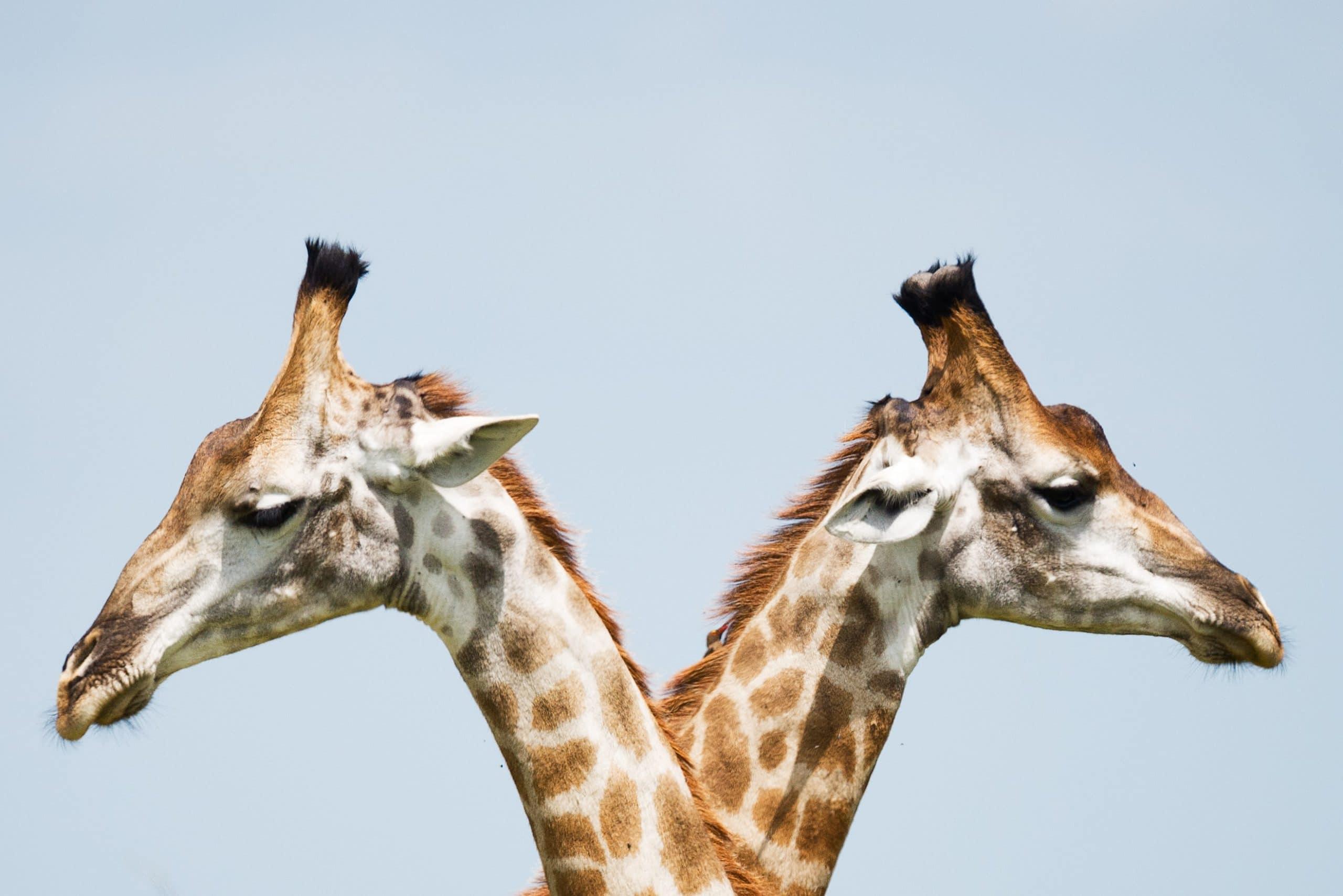 twee giraffes